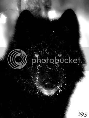 Snow Fall's Wolf