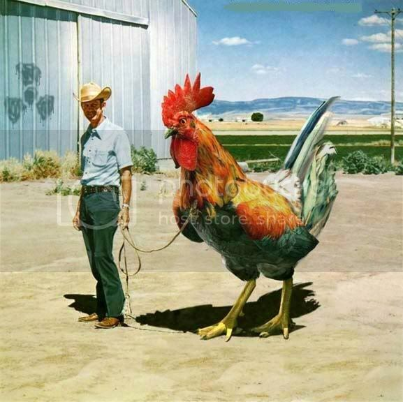 mga adik sa manok ito maganda e bred na manok pasuk Rooster