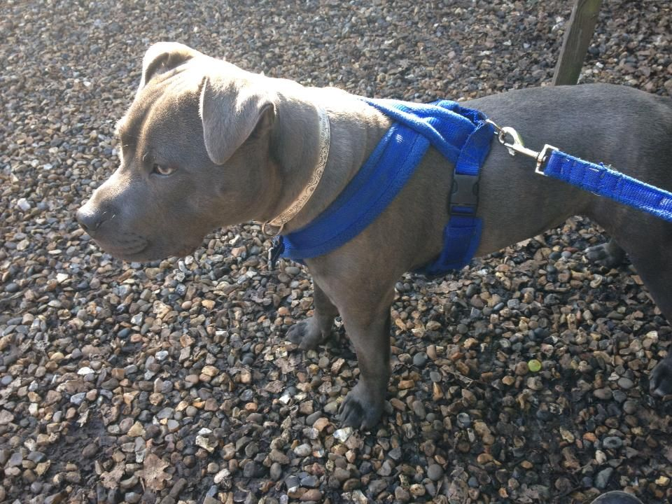 anybody got one of these harnesses and leads? 35483_10151232794112330_1172571909_n