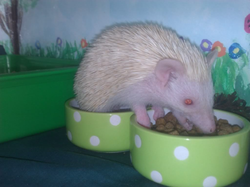 Pixie - my newest  hoglet WP_001973