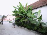 Prodajem sadnice banane TropikauSremu