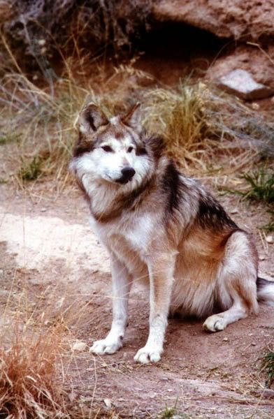 Common Wolf Breeds Desert_Museum_Mexican-1