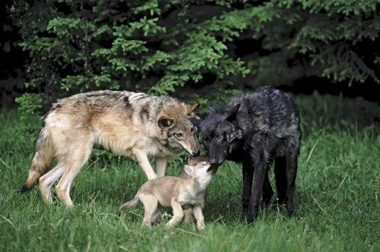 Common Wolf Breeds Greywolf