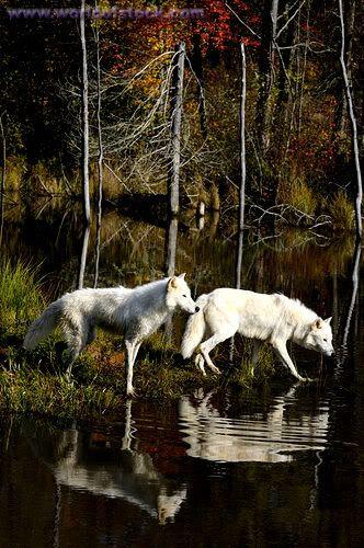 Common Wolf Breeds NAN7691
