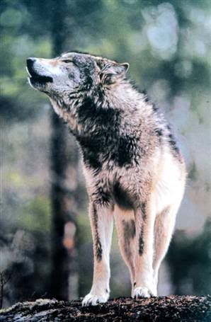 Common Wolf Breeds Northeasterngraywolf-1