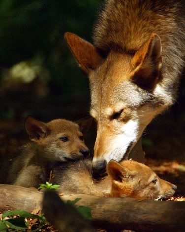 Common Wolf Breeds Redwolf
