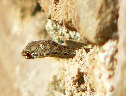 Le trou du serpent - Théophile Gautier Montpellier-snake-head