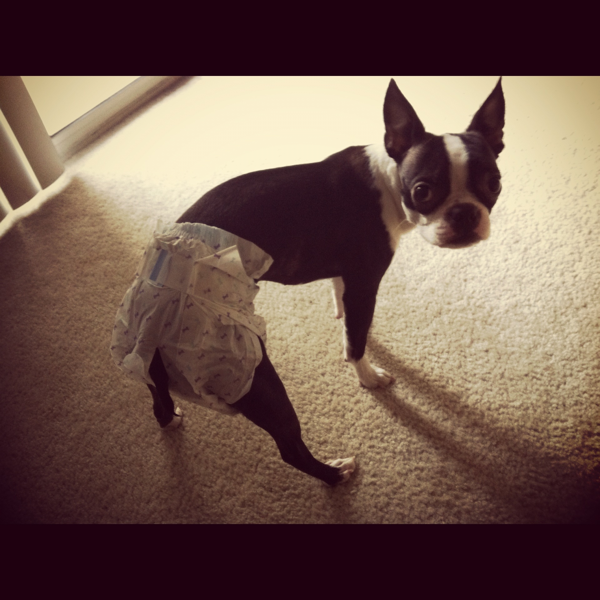 Odeur/tâche d'urine: comment l'enlever? - Page 3 Boston-Terrier-Diaper