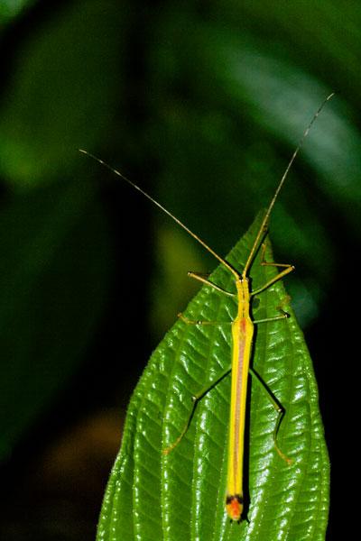 Красивый палочник из Коста-Рики 375038_600