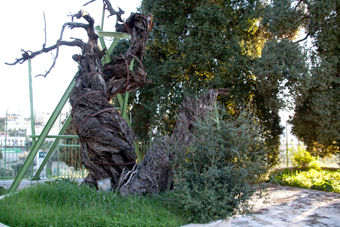 Мамврийский дуб. 203004_original