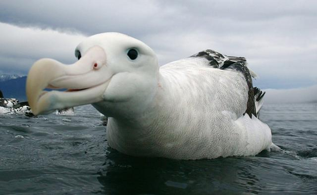 Welcome Albert Ross Wandering_albatross_1