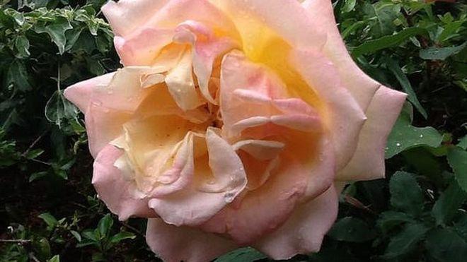Extinct rose _83921445_83921444