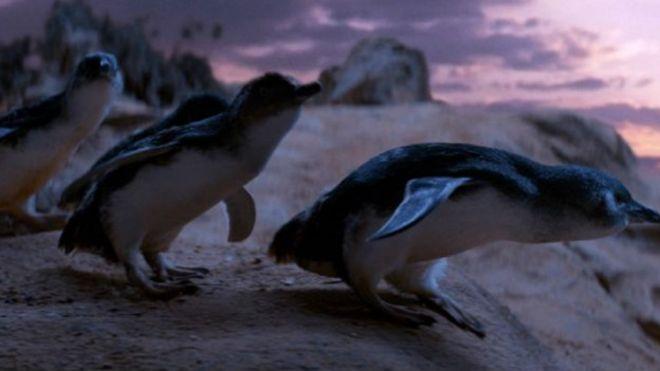 В Австралии умер пес, всю жизнь защищавший пингвинов 151214165019_penguins_624x351_globalscreen_nocredit