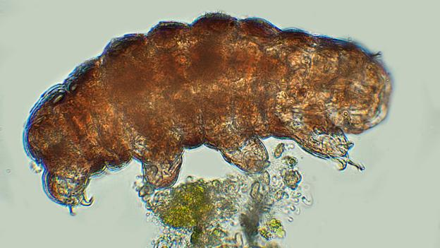 Tardigrade  extremophile with superpowers P02lv2r8