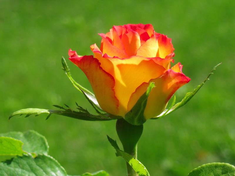 Lulet dhe kuptimi i ngjyrave te tyre  1228-800