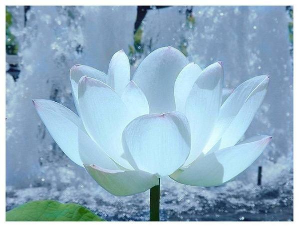 un petit partage Lotus-leia