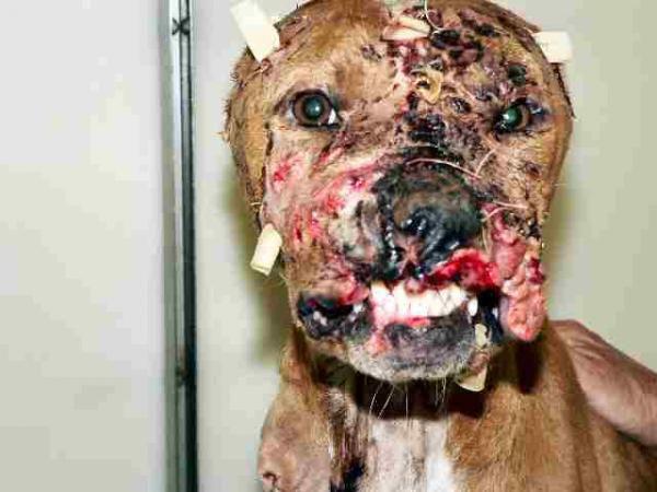 Contre le combat de chien Case4402
