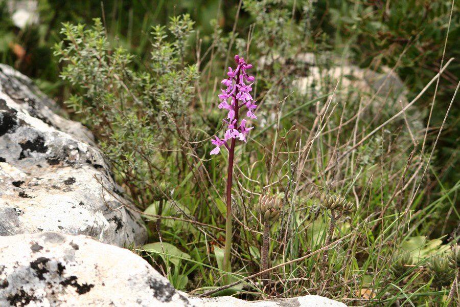 Orchis olbiensis ( Orchis d'Hyères ) Orchis21p