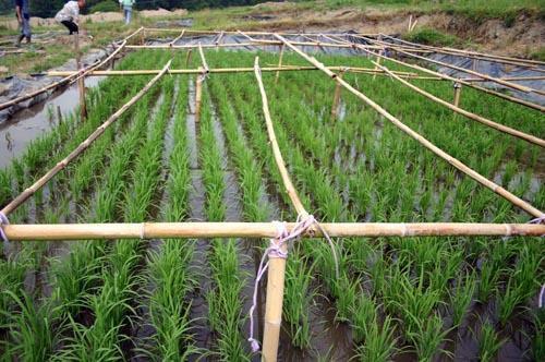 Une histoire de riz, un peu d'Indochine dans l'Allier  Riz3