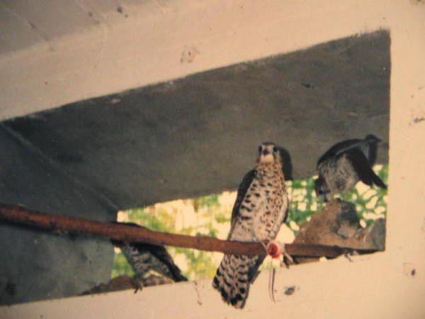 Falconiformes. sub Falconidae - sub fam Falconinae - gênero Falco - Página 2 Falco-punctatus76