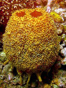 l'image insolite -  blucat - 11août arrachée de force par martine - Page 2 Eponge-tonneau--Xestospongia-sp.--Pandan-Neptune-land--Philippnes