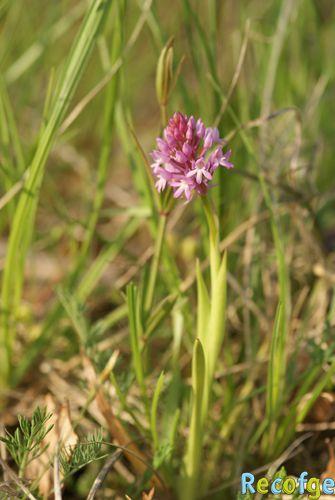 Anacamptis pyramidalis ( Orchis pyramidal ) 06-Anacamptis_pyramidalis