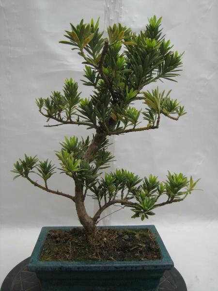 TỨ TUYỆT HOA 2 - Page 44 Podocarpus-varmaki-001