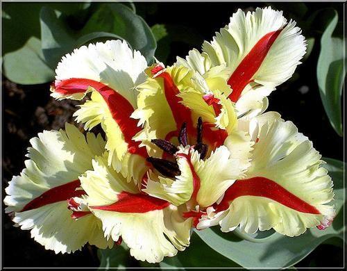 Fleur de Martine 6/12/2015 trouvée par Pitchoune Tulipe--Perroquet-