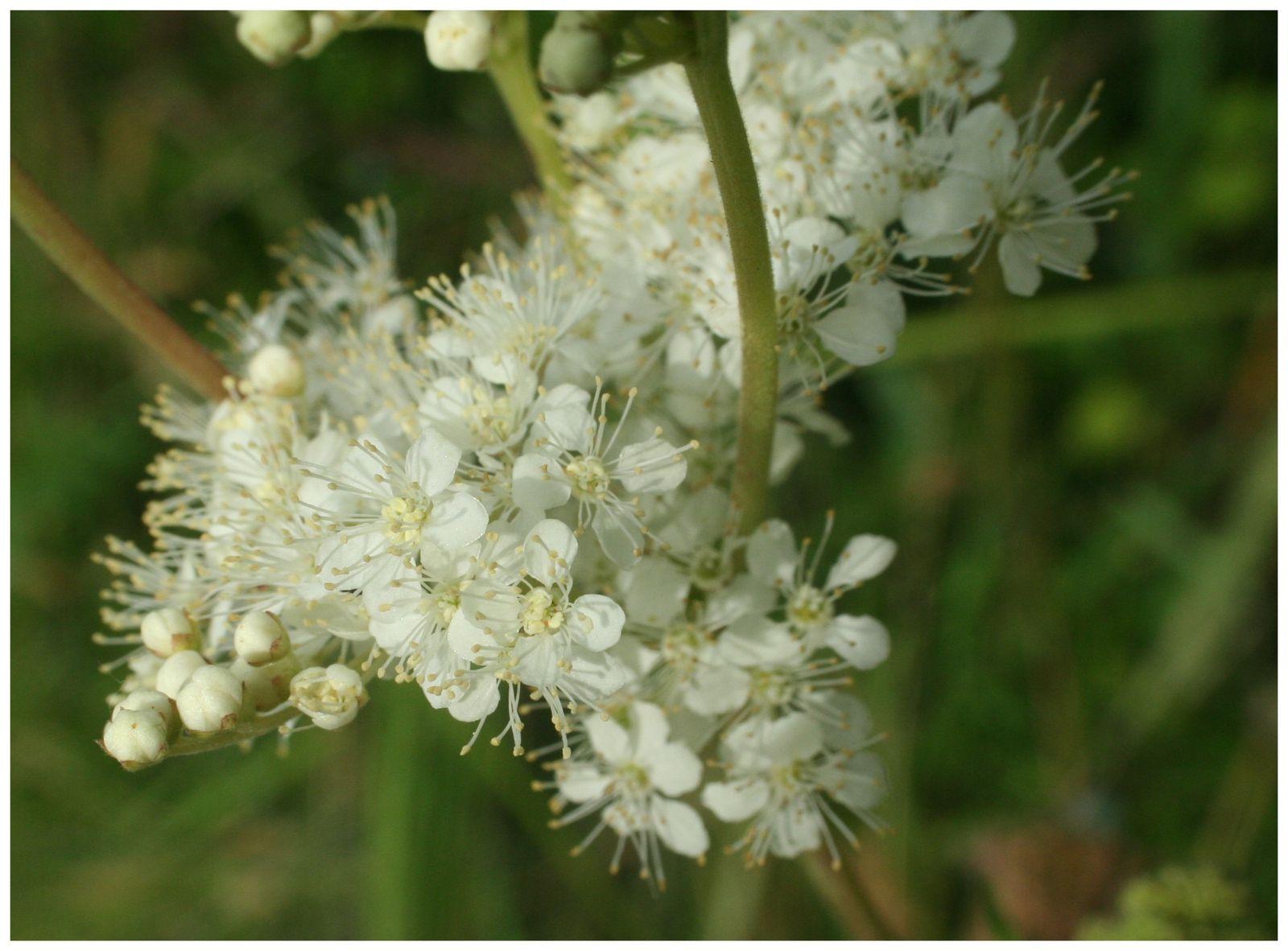 une fleur - blucat-  8 août trouvée par martine Reine-des-pr-s-gros-plan