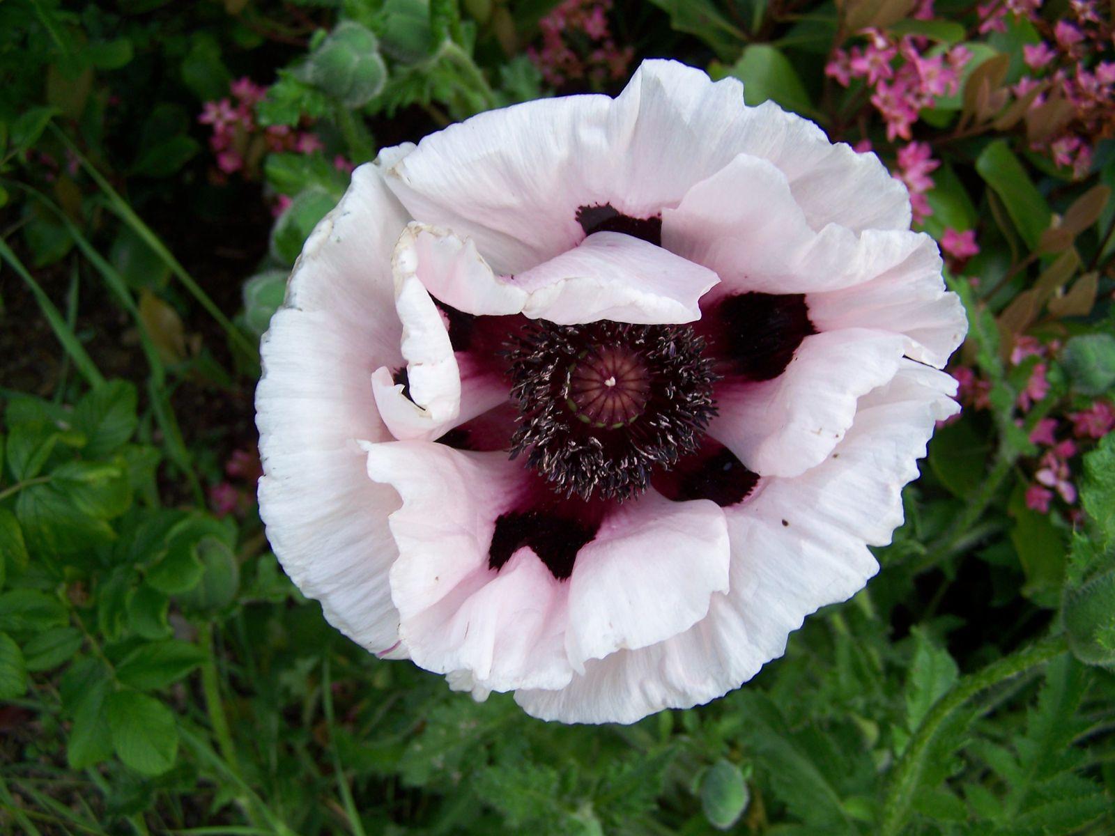 la fleur de Martin du 6 septembre trouvée par Martine Printemps-2009-214
