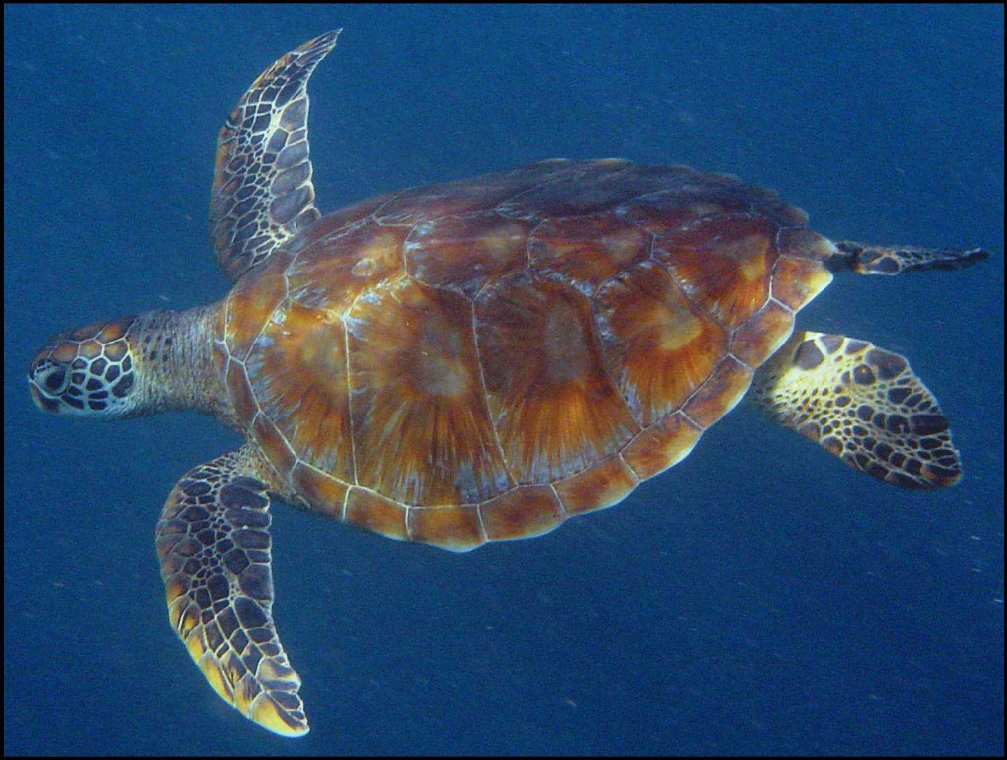 2000: le 26/11 à 5h15 - Disque ou Sphère OSNI - Rasdhoo Atol (Maldives)  Tortue-verte