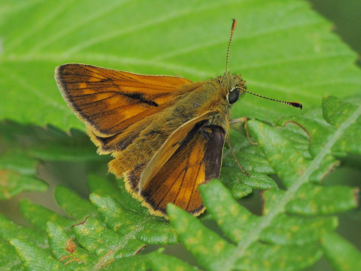 le papillon de Martin du 10 février trouvé par Gin-to Papillon---Sylvaine-003