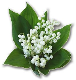 bon 1er mai à tout les membres du forum Muguet_1