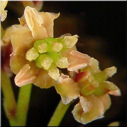 une plante Martin 18 janvier trouvée par Ajonc Amborella-trichopoda-gros-plan