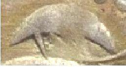Dinero melgorés de Montpellier (s. XII-XIV) Poissons-degenere-1-copie-1