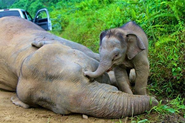 L'extermination silencieuse des éléphants d'Afrique Elefanti