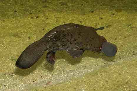 Čudnovati kljunaš Platypus