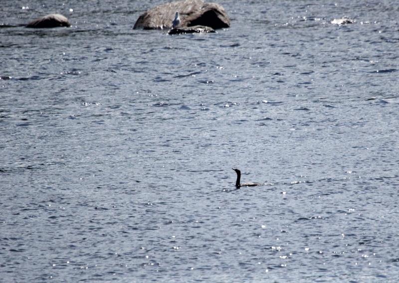 Quel est cet oiseau aquatique? Img_7210