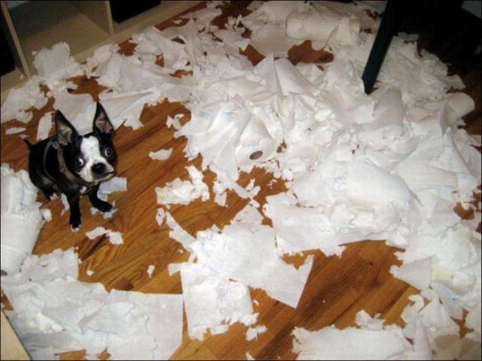 les bêtises des animaux domestiques Animaux-betises-201292