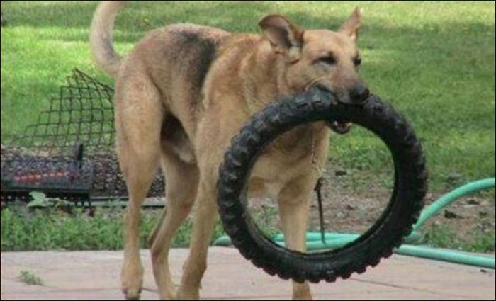les bêtises des animaux domestiques Animaux-betises-201293