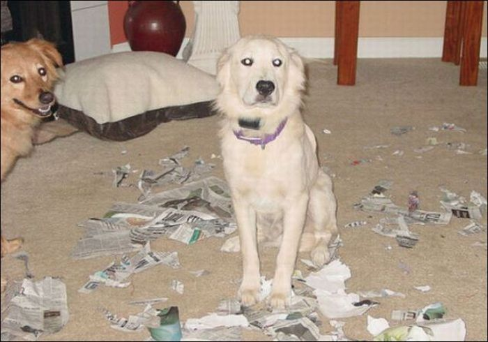 les bêtises des animaux domestiques Animaux-betises-201297