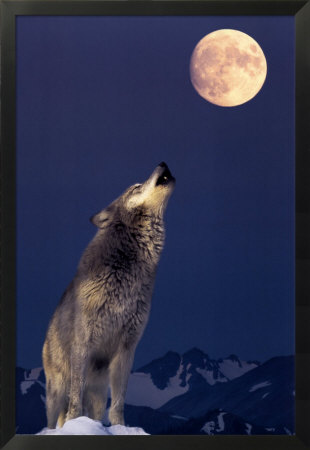 110 operazioni per assomigliare a UFO !!! Pf_1158145lupo-grigio-che-ulula-alla-luna-posters