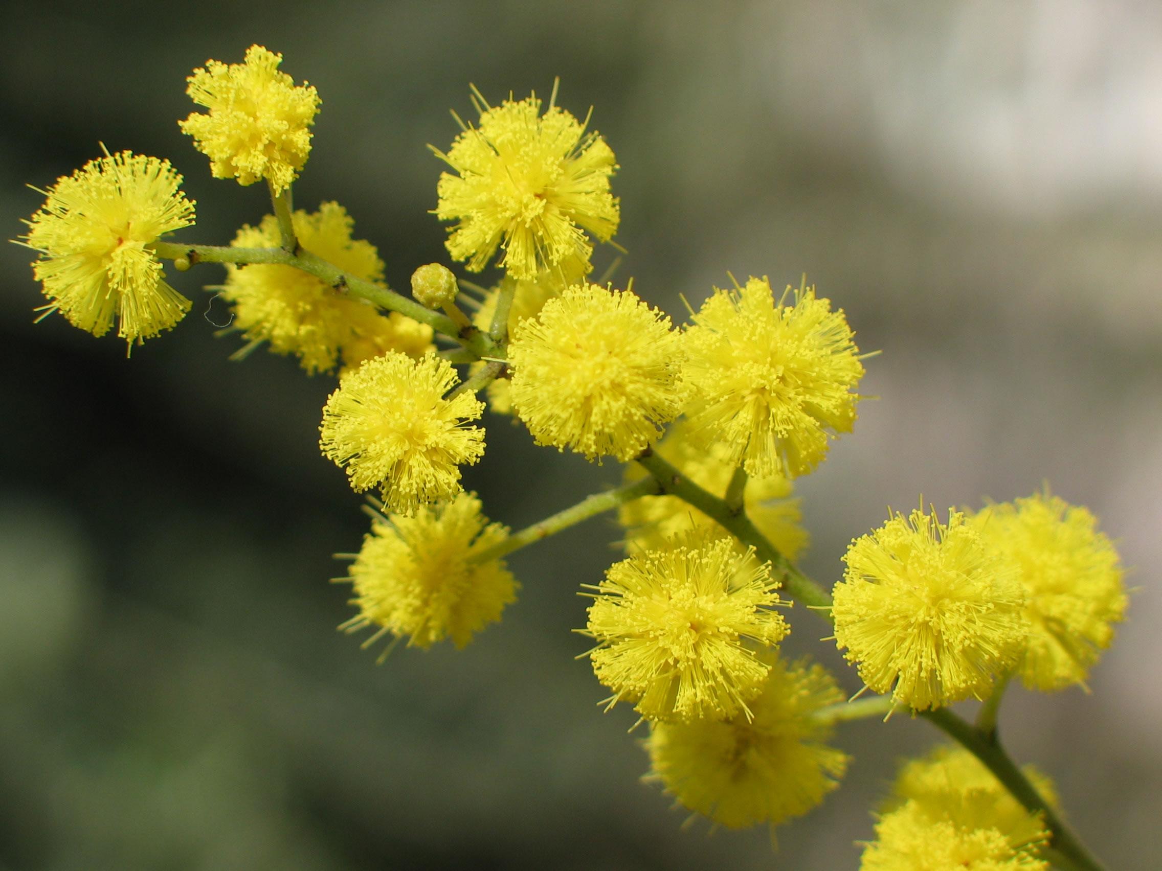 Uporedite vaše voljeno biće sa cvijetom Come-coltivare-mimosa