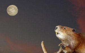 """November's Spectacular Full Moon Rising - Don't Miss The """"Full Beaver Moon"""" Beaver-300x187"""