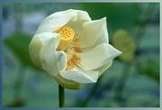 Góc kỷ niệm ... Autres-plantes-pamplemousse-ile-maurice-1252084770-1207786