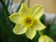 Góc kỷ niệm ... Narcisses-vence-france-1058565542-1168052