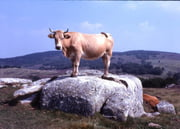 pour éviter de flooder les autres topics - Page 2 Vaches-rochers-roche-autres-animaux-marvejols-france-6547815204-934974