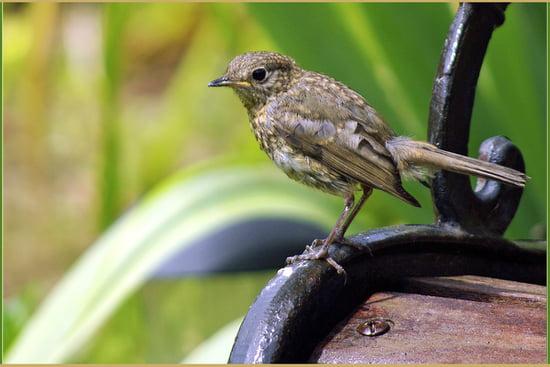 Que donne-t-on à manger à un jeune oiseau trouvé ? Grives-plouzevede-france-1098282534-1251380
