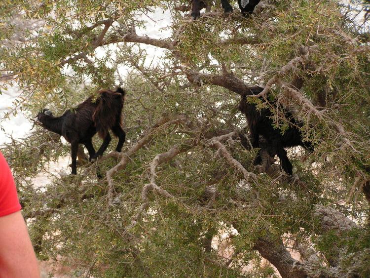 L'arbre à chèvres 915344
