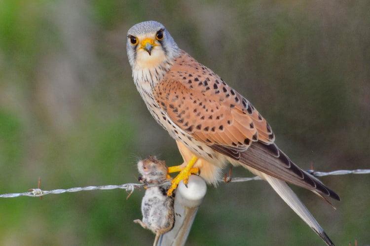 Oiseau - Ajonc - 11 septembre trouvé par Sylvie Faucon-crecerelle-1363209553-1199096